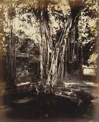 Vad or banian tree at Bhaunath, Junagadh